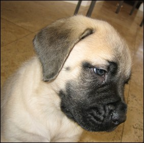 English Mastiff Puppies on Great Dane Puppies  English Mastiff Puppies